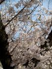 枚岡公園 さくら - 2
