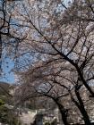枚岡公園 さくら - 1