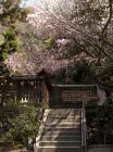 枚岡公園 さくら - 3